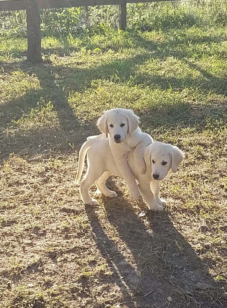 Newest Litterer Of English Golden Retriever Puppies For Sale In